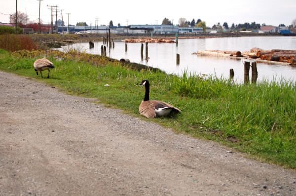 canada geese on the road
